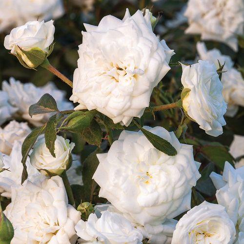 White Drift® Rose
