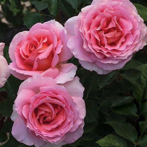 'Dr. Jane Goodall' 36-inch Tree Rose