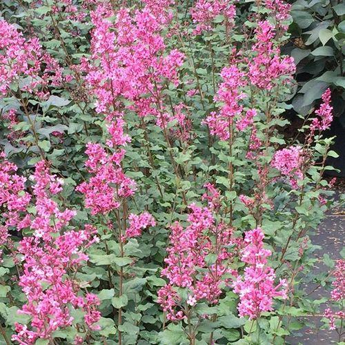 Syringa Bloomerang®Dwarf Pink