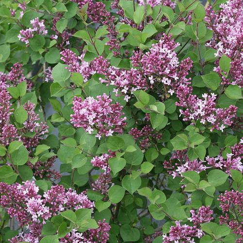 Bloomerang® Dwarf Purple Lilac