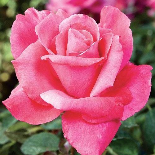 'Electron' Hybrid Tea Rose