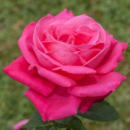 'Miss All American Beauty' Hybrid Tea Rose