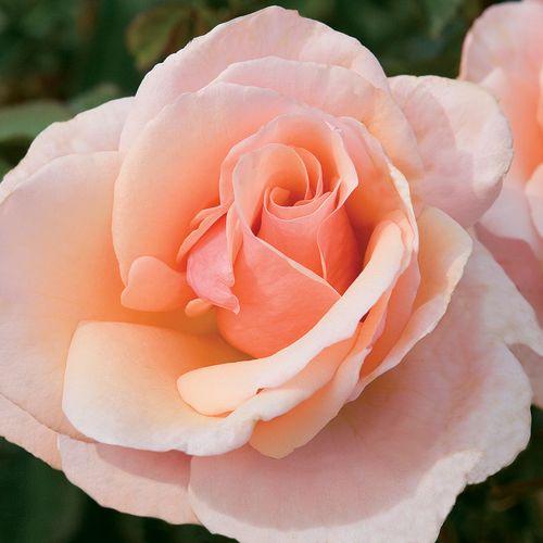 Mother Of Pearl® Grandiflora Rose