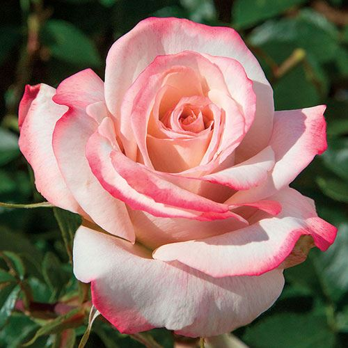 Pinkerbelle™ Hybrid Tea Rose