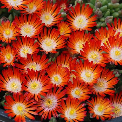 Delosperma Hotcakes 'Pumpkin Perfection'