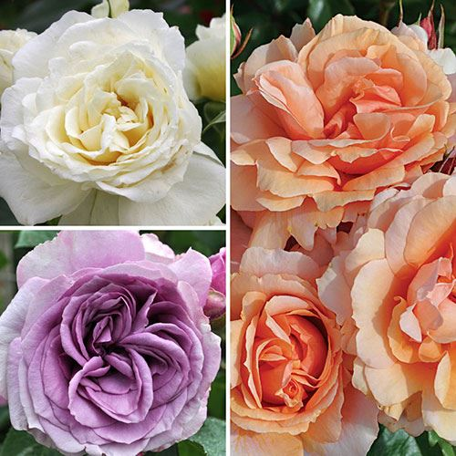 Cold Hardy Rose Collection