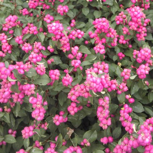 Symphoricarpos Magical® Treasure