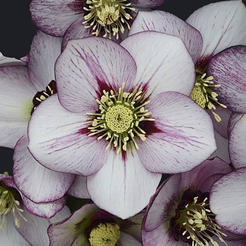 Helleborus Honeymoon® 'French Kiss'