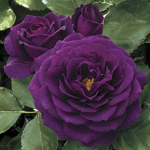 Ebb Tide™ 24-inch Tree Rose