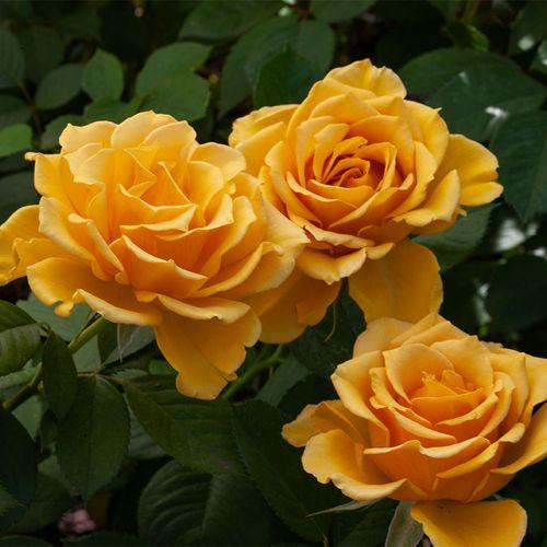 'Alex's Lemonade Stand' Grandiflora Rose