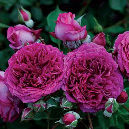 'Like No Other' Floribunda Rose