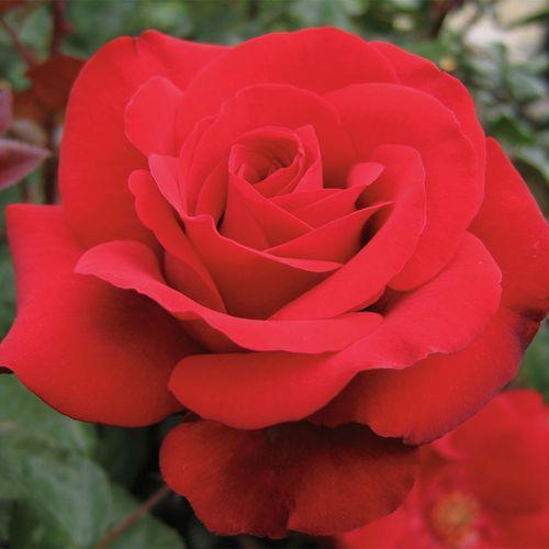 Crimson Bouquet™ Grandiflora Rose