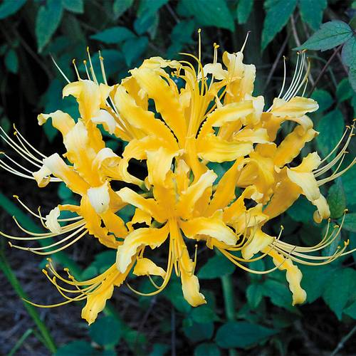 Lycoris aurea (Yellow Spider Lily)