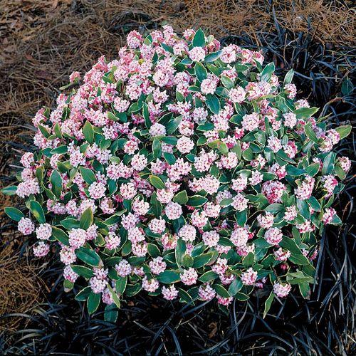 Daphne 'Aureo-Marginata' Pink Flower