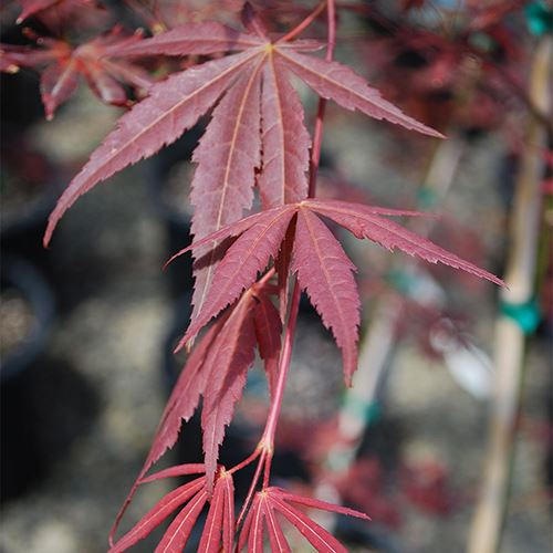 Acer 'Dragon Tears'