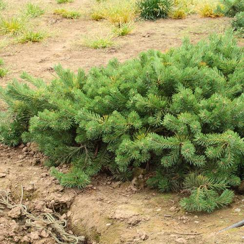 Pinus 'Hillside Creeper'