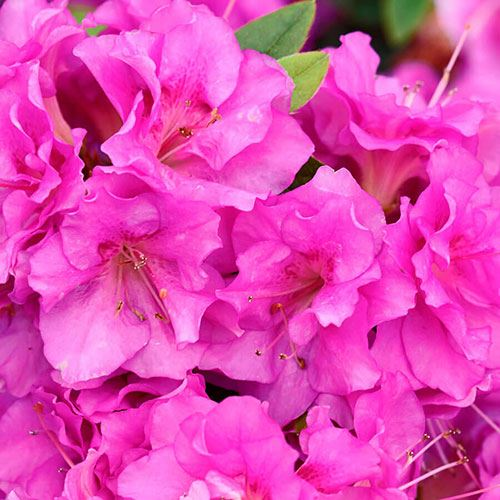 Rhododendron Perfecto Mundo® Double Purple Azalea