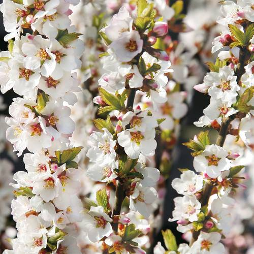Prunus tomentosa 'Nanking Cherry'