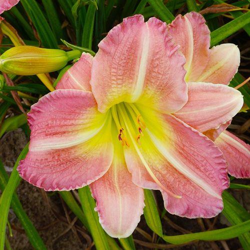 Hemerocallis 'Pink Tirzah'
