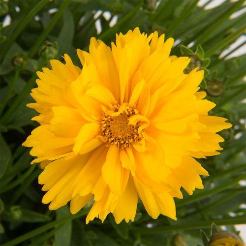 Coreopsis 'SunSwirl'