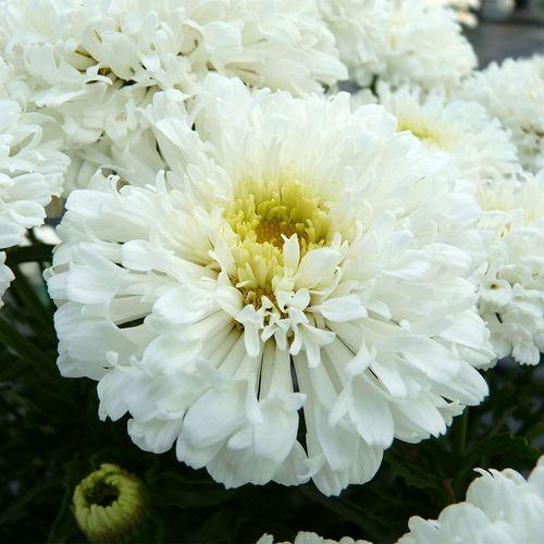 Leucanthemum REALFLOR® 'Real Snowball'