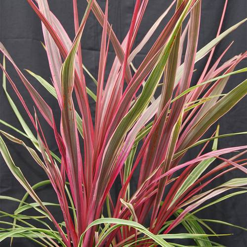 Cordyline 'Dancing Can Can'