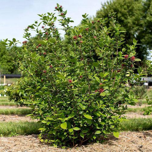 Calycanthus 'Sweetshrub'