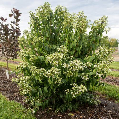Heptacodium First Editions® Tianshan®