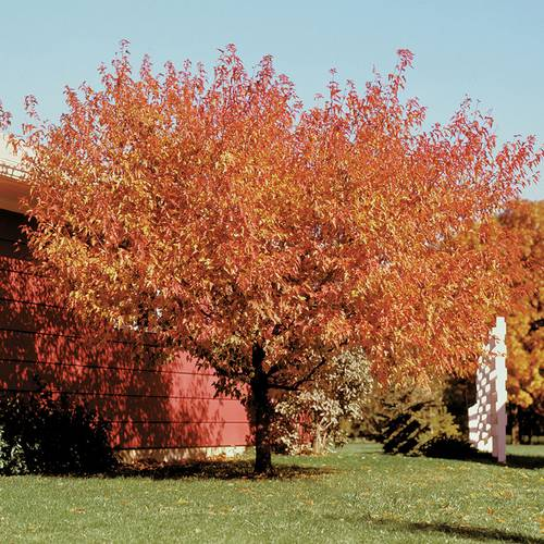 Acer Bailey Compact Amur Maple