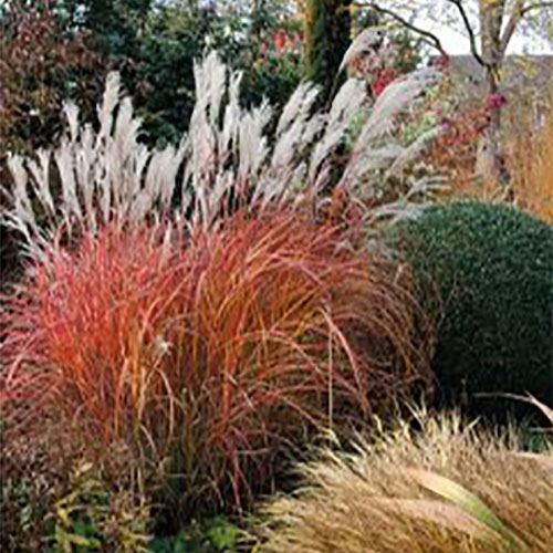 Miscanthus 'Fire Dragon'®