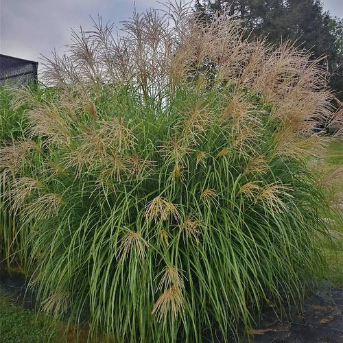 Miscanthus 'Fat Cat'