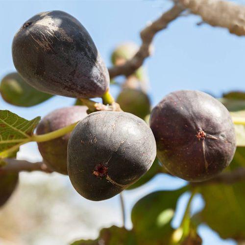 Ficus Neverella Fig