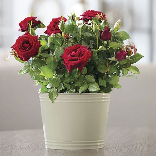 Ravishing Miniature Red Rose Gift