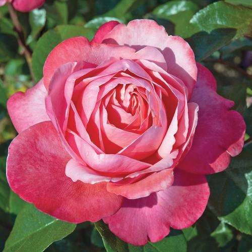 Pink Flamingo™ Grandiflora Rose