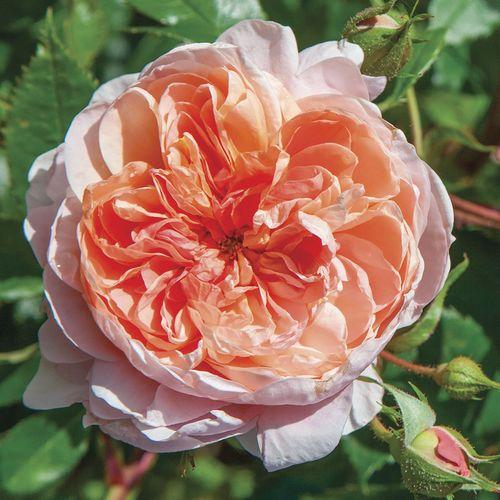 Colette™ Climbing Rose