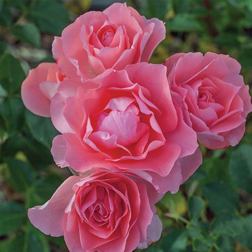 Passionate Kisses® Hybrid Tea Rose