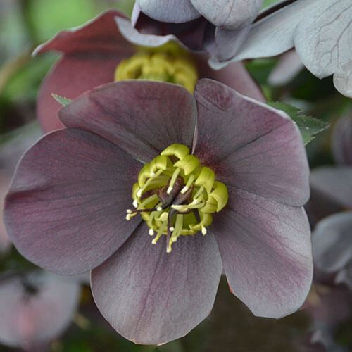 Helleborus 'Vegas Nights' HONEYMOON® Series