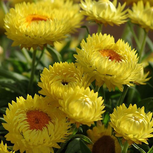Bracteantha Dreamtime® Jumbo Yellow