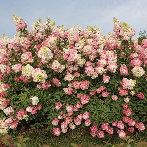 Hydrangea 'Renba' First Editions® Berry White®