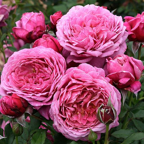 Queen of Elegance™ Floribunda Rose
