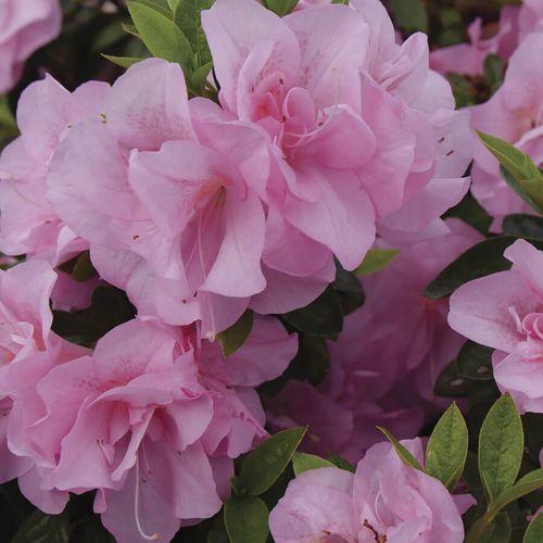 Rhododendron Perfecto Mundo® Double Pink Azalea