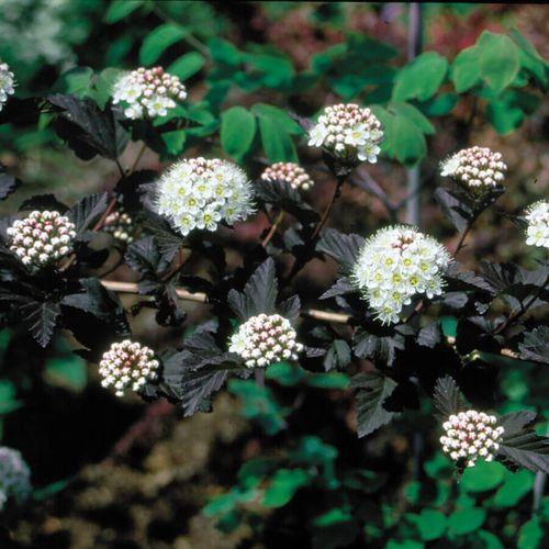 Physocarpus Diabolo®