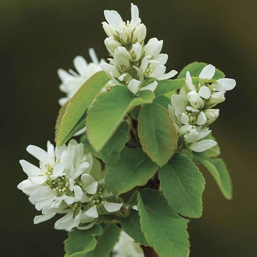 Amelanchier First Editions® Standing Ovation™