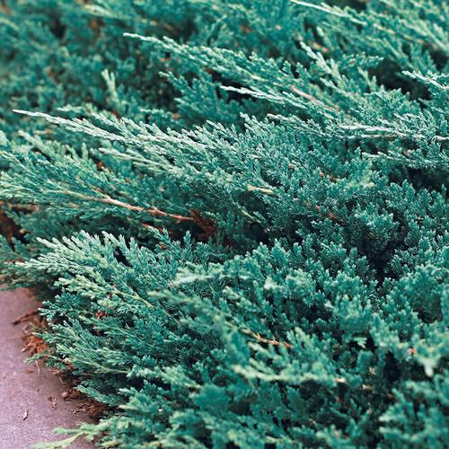 Juniperus 'Bar Harbor'