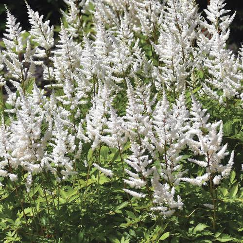 Astilbe 'White Gloria'