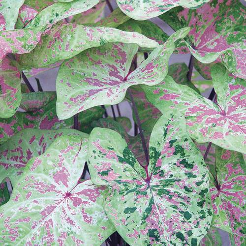 Caladium 'Sea Foam Pink'