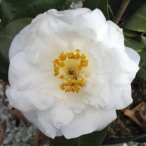 Camellia Emmett Barnes