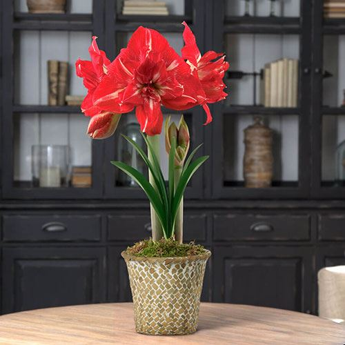 Single Rock-n-Roll Amaryllis