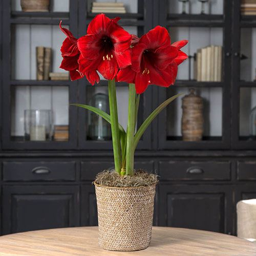 Single Miracle Amaryllis