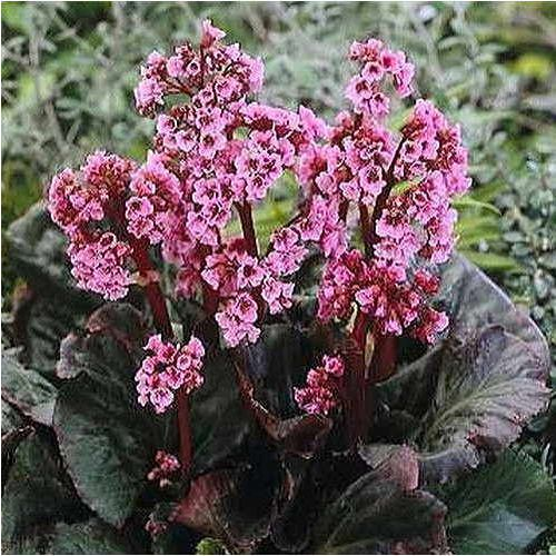 Bergenia Magic Giant